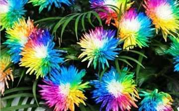 Rainbov hrizantema seme cveća