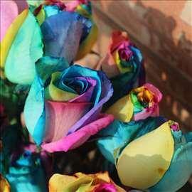 Renobew ruža, šarena ruža. seme