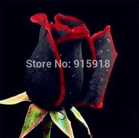 Seme crne ruže sa crvenim ivicama