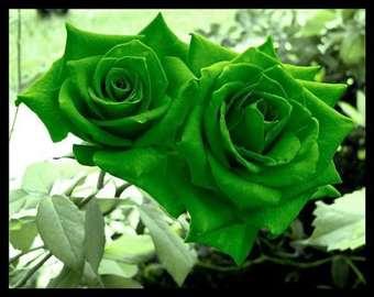 Zelena ruža seme