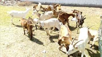 Stado koza i jarića na prodaju
