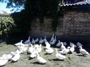pekinske patke