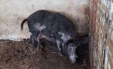 Mangulice i divlje svinje