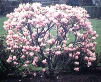 Magnolija ljubičasta, sadnice