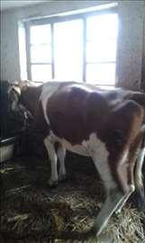 Prodajem krave
