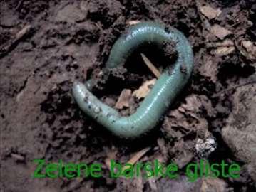 Зелене ритске глисте