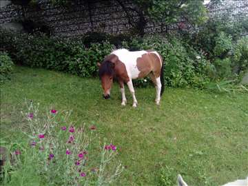 Poni kobila