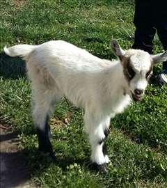 Prodajem jariće i koze
