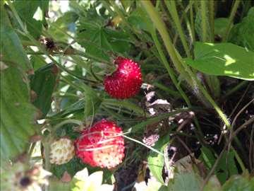 Šumske jagode