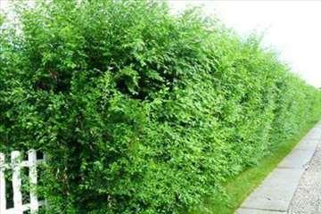Živa ograda