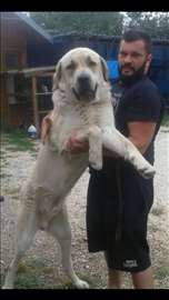 Anadolski pastirski pas, štenci(Turski Kangali)