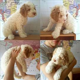 Preslatko štene Lagoto romanjolo