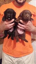 Kvalitetni štenci labradora na prodaju