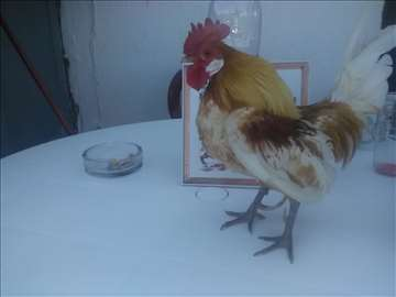 Prodajem holandsko patuljastu ukrasnu živinu