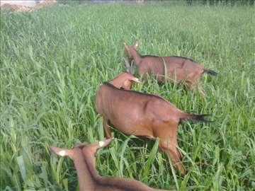 Umatičene koze