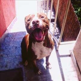 Pitbul red nose, mlad pas, parenje