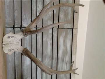 Rogovi od jelena kapitalca