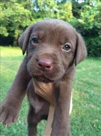 Labradori na prodaju