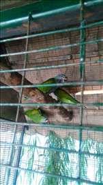 Kina Aleksandar papagaji