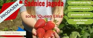 "Sadnice jagoda sorte ""Queen Elisa"""