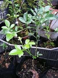 Sibirski ili baštenski limun Poncirus trifoliata