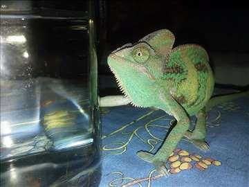 Kameleon, jemenski, ženka