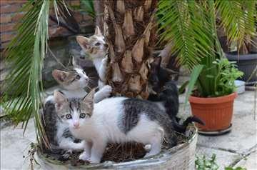 Mešanci, mačići