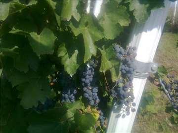 Prodajem grožđe