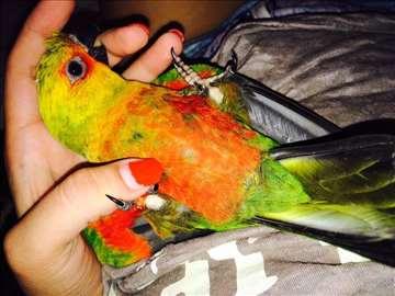 Jandaja najlepši papagaj