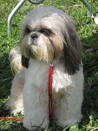 Ši-cu ženka 2 godine stara, fantastičnog pedigrea