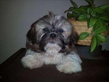 Ši-cu, muško štene