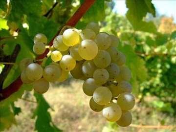 Prodajem grožđe Sovinjon blank 2017.