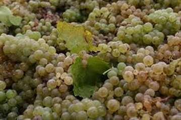 Prodaja grožđa-italijanski rizling Neštin