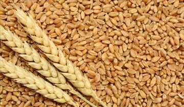 Semenska pšenica, Balaton
