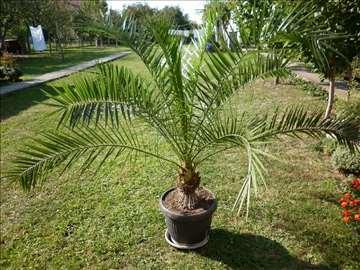 Prodajem veliku morsku palmu