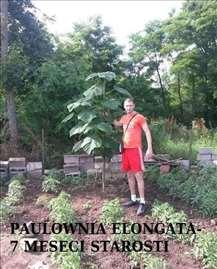 Paulownia seme  sada je vreme setve za jesenju sad