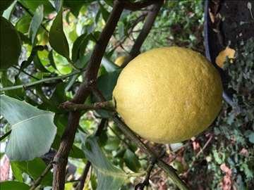 Limun-formirana stabla, mladari, sadnice