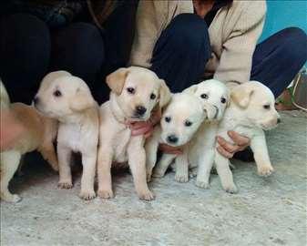 Labrador retriver štenad