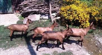 Alpine koze