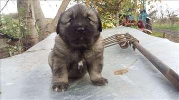 Šarplaninac, štene