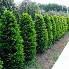Jelke (tuja, juniperus..),živa ograda(ligustrum..)