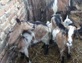 Koze alpina odlične
