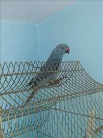 Papagaj mali aleksandar sa kavezom