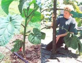 Paulownia Srbija seme i sadnice