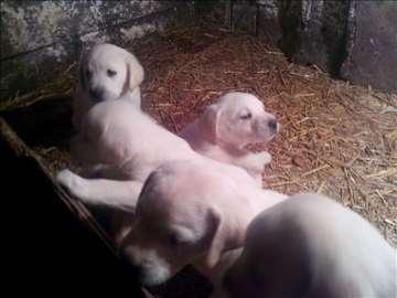 Labrador retriver, štenad