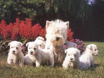Zapadnoškotski beli terijer, štene