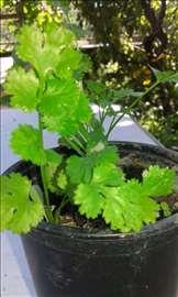 Seme začinskog i lekovitog bilja