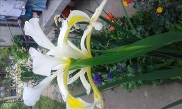 Lukovice, rizomi, seme cveća