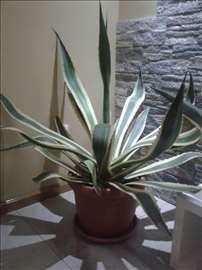 Kaktus agava