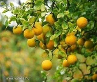 Sadnice za živu ogradu od divljeg limuna